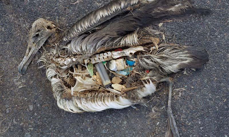 Rác thải nhựa là nguyên nhân gây ra cái chết của nhiều loài chim biển do chúng tưởng nhầm nhựa là thức ăn