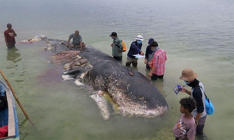 Chú cá voi mõm khoằm Cuvier khi chết đã dạt vào bờ biển Philippines với hơn 40 kg rác thải nhựa trong bụng. (Nguồn ảnh: univision)